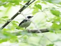 枝被りのコルリ - コーヒー党の野鳥と自然 パート2