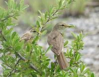 オオヨシキリ幼鳥 - 備忘録 2