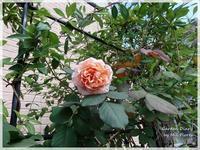 それでもバラは咲く~珪藻土スプーン - Garden Diary