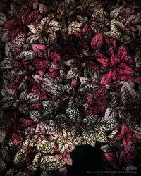 FLOWER - Illusion on the Borderline  II @へなちょこ魔術師