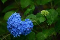紫陽花 de ♡ - 一歩々々 ~いっぽいっぽ~