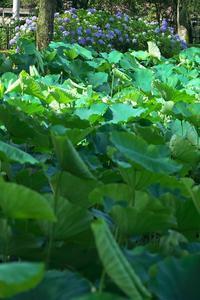 蓮池の紫陽花 - MAKO'S PHOTO