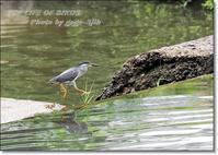 熊本県水前寺公園に生息するササゴイは道具を使って狩りをする - THE LIFE OF BIRDS --- 野鳥つれづれ記