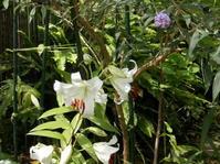 カサブランカの花が笑顔に見えます - 百寿者と一緒の暮らし