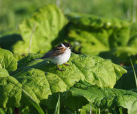 ニムオロ原野の旅(北海道)霧多布で出会った野鳥たち - cuccooの野鳥エトセトラ