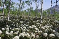 白樺林 その3 硫黄山のつつじが原へ - 北緯44度の雑記帳