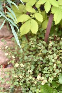 裏庭のオウゴンミズヒキ - 小さな庭 2