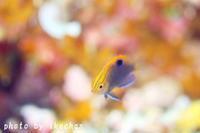 サラダ記念日 ~クロメガネスズメダイ幼魚~ - 池ちゃんのマリンフォト