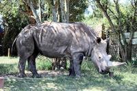 南アフリカのサファリパークのシロサイ密猟事件 - ごきげんよう 犀たち