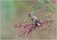 カワラヒワ 野草の種も大好き - 野鳥の素顔 <野鳥と・・・他、日々の出来事>