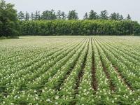 国道沿いのジャガイモ畑・・一面の白い花が見事です。 - 十勝・中札内村「森の中の日記」~café&宿カンタベリー~