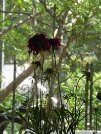 「スカビオサ」 マツムシソウ で作る *和花寄せ植え - 心とカラダが元気になるアロマ&ハーブガーデン教室chant rose