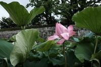 お堀の蓮 - お庭のおと