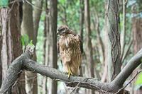 オオタカの幼鳥 - barbersanの野鳥観察