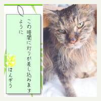 ご長寿猫 はんぞう との暮らし 「七夕☆」 - たびねこ