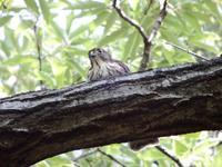 ツミの幼鳥スクスクと育つ - 西多摩探鳥散歩