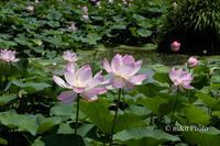 蓮咲く池 - 季節のおくりもの