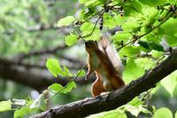 桑の木に ニホンリス - 鳥さんと遊ぼう