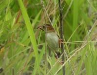 セッカとオオヨシキリ幼鳥たち - 備忘録 2
