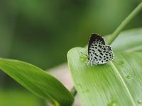 ゴイシシジミ - 風の翅