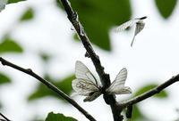 エゾシロチョウ - 旅のかほり