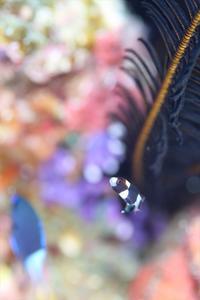 幼魚がくねくね - 潜りたおし