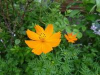 我が家の花 コスモス咲く - 風の便り
