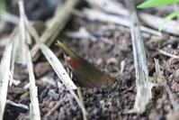 小暑:みょうがの芽がではじめました。 - 週刊「目指せ自然農で自給自足」