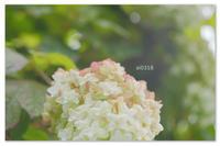 紫陽花グラデーション。 - Yuruyuru Photograph