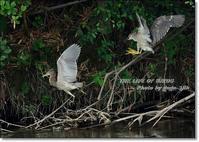 ゴイサギ一家、子離れ・親離れの日が近い - THE LIFE OF BIRDS --- 野鳥つれづれ記