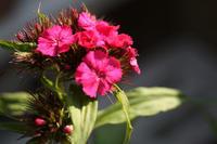 なでしこ、年を越して咲く 〜うちの庭〜 - 日々ニコニコ