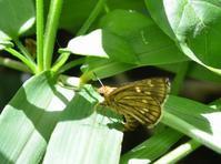 コチャバネセセリの産卵(2)。 - 堺のチョウ