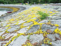 岩に咲く黄色い多肉植物 セダム @False Creek (私の散歩道 2) - 花散歩写真 in Vancouver