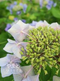 紫陽花の実? - yamatoのひとりごと