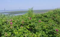 ワッカ原生花園の夏の花 - 北緯44度の雑記帳