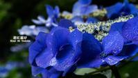 紫陽花の残り香 VOL.01 - 君に届け