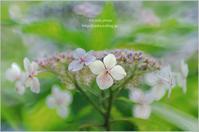 '17 紫陽花*Ⅴ - It's only photo