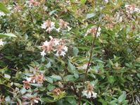 「花衝羽根空木」開花中 - 【出逢いの花々】