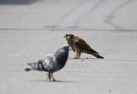 地上でよちよちと、、 - ぶらり探鳥