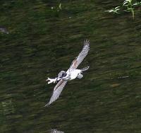 ヤマセミ、ちょこっと・・・ - 一期一会の野鳥たち