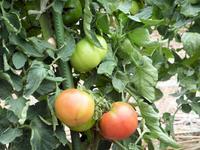夏野菜 毎日大収穫中 - 飛行機とパグが好きなお母さんの日記