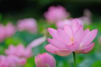 古代蓮の季節 - My Photo Square