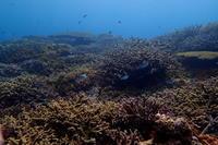 17.7.9 サンゴに元気もらって! - 沖縄本島 島んちゅガイドの『ダイビング日誌』