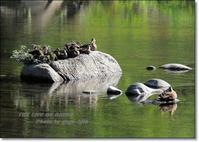和名は「 軽の池 」で年中見られたカモであったことに由来 - THE LIFE OF BIRDS --- 野鳥つれづれ記