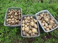 今年のジャガイモは大きいよ。 - チドルばぁばの家庭菜園日誌パート2