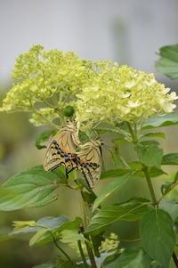 キアゲハの交尾 7月9日 庭にて - 超蝶