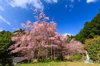 京都の桜2017 京北・宝泉寺の紅枝垂れ桜 - 花景色-K.W.C. PhotoBlog