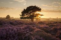 荒野(ムーア)を紫色に染めるヒースの花 - ブルーベルの森-ブログ-英国カントリーサイドのライフスタイルをつたえる