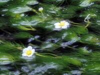 梅花藻(バイカモ)&鰻 - のんびりまったり写真館
