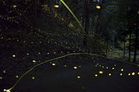 ヒメボタルの光跡 - 写真ブログ「四季の詩」